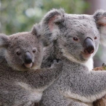 Incêndios matam 350 coalas na Austrália e espécie está em risco de extinção