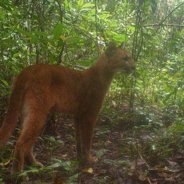 Câmera escondida flagra onça-parda em floresta da Baixada Fluminense
