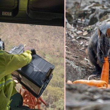 'Chuva de cenouras e batatas-doces' salva animais na Austrália