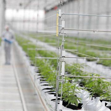 Cannabis medicinal: depois da regulamentação, empresários apostam na criação de novos negócios