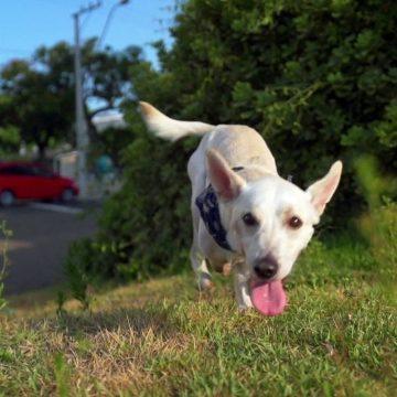 Final feliz para Tintim: casal adota cachorrinho com deficiência abandonado duas vezes no RS
