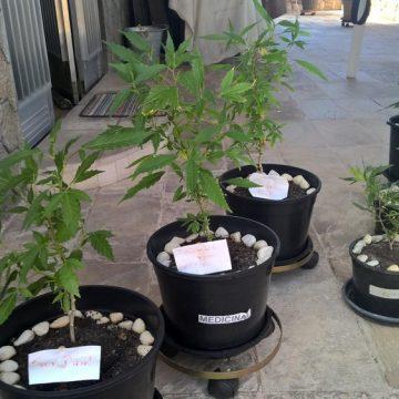 Alerj vota se estado deve implementar política para produção de pesquisas com cannabis medicinal